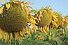 Семена подсолнечника Казио Syngenta