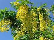 Акация желтая (Карагана древовидная) семена