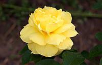 Саджанці троянд Yellow Queen Elisabeth (Queen Elisabeth Jaune, Еллоу Куин Элизабет)
