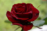 Саджанці троянд  Чорна Магія (Black Magic, Блек Меджік, Блэк Мэджик, Черная магия)