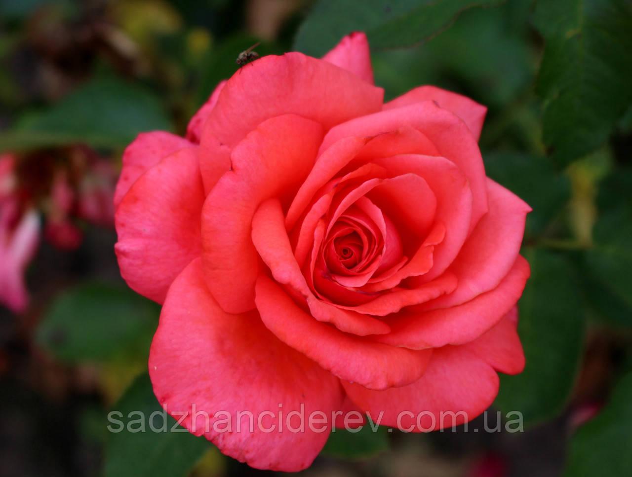 Саджанці троянд Шакіра (Shakira, Шакира)