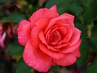 Саджанці троянд Шакіра (Shakira, Шакира), фото 1