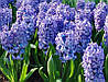 Гиацинт Delft Blue, фото 2