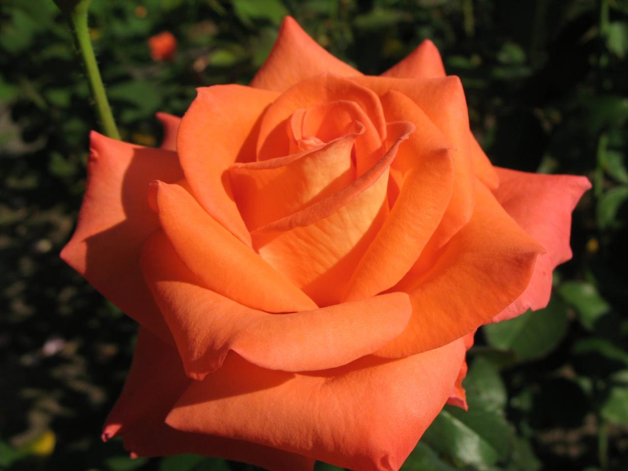 Роза Фольклер. (Folklore) Ч/Г