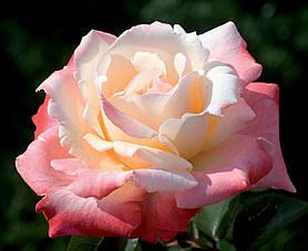 Роза Летиция Каста (Laetitia Casta) Ч/Г, фото 2