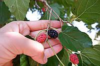 Шелковица чёрная семена (10 штук) для саженцев тутовое дерево (шовковиця насіння для саджанців)