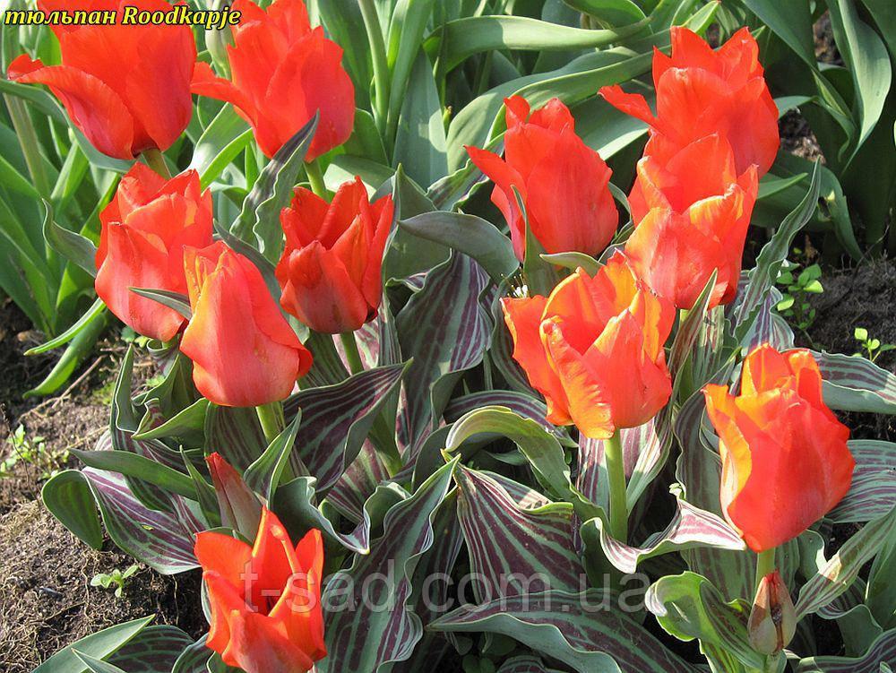 Тюльпан низькорослий Roodkapje
