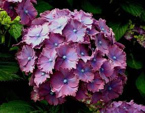 Гортензия крупнолистная - садовая