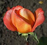 Роза Лолита. (ввв). Чайно-гибридная., фото 3