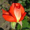 Роза Лолита. Чайно-гибридная роза.