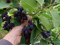 Ирга семена (10 штук) для выращивания саженцев (насіння на саджанці) + инструкция
