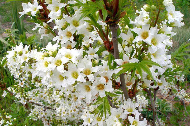 Чекалкин орех (Ксантоцерас) семена (10 штук) для выращивания саженцев (насіння на саджанці) + инструкция - фото 5