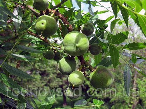 Чекалкин орех (Ксантоцерас) семена (10 штук) для выращивания саженцев (насіння на саджанці) + инструкция - фото 6