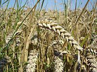 Влажность зерна пшеницы