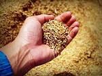 Определение массовой доли белка в зерне пшеницы