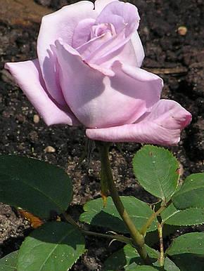 Роза Шарль де Голль (Charles De Gaulle) Ч/Г, фото 2