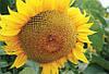 Семена подсолнечника Тристан