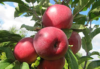 Саженцы яблони Моди