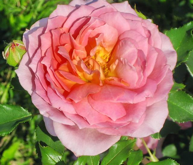Цветы розы купить саженец украина
