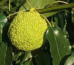 Маклюра (Адамово яблоко) семена