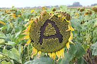 Семена подсолнечника Антей+ (Под Гранстар)