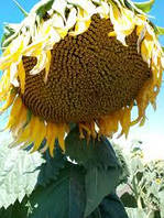 Насіння соняшнику Одісей імі (Під Євро-лайтінг)