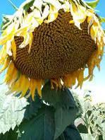 Семена подсолнечника Одісей імі (Под Евро-лайтинг)