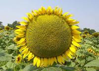 Семена подсолнечника Меркурій імі (Под Евро-лайтинг)