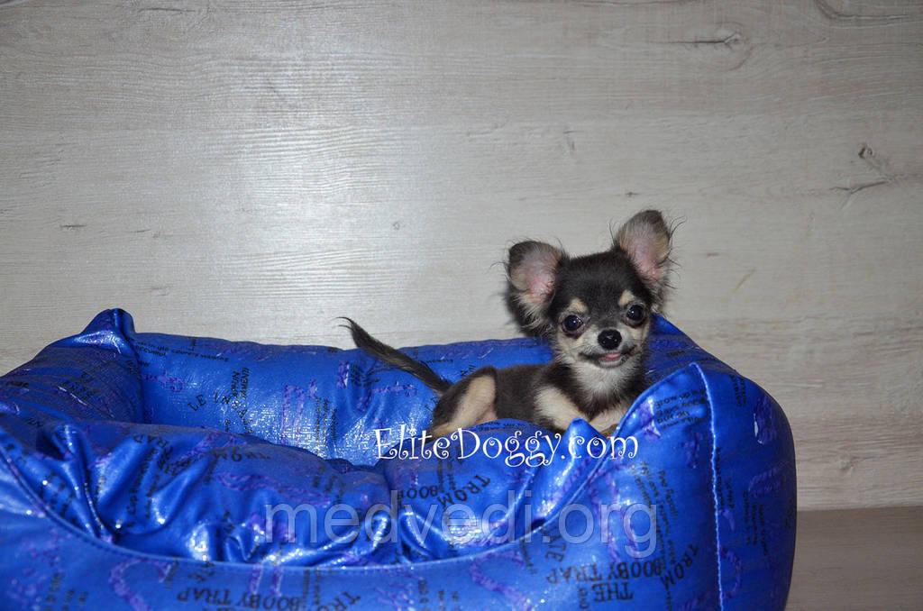 Супер-мини щенок чихуахуа, девочка редкого голубого окраса