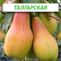 Саженцы груши Талгарская Красавица