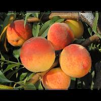 Саженцы персика Вайн Голд т3