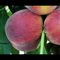 Саженцы персика Харбингер