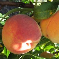 Саженцы персика Ред Хевен