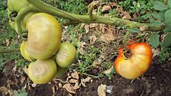 Обзор болезней томатов часть 1