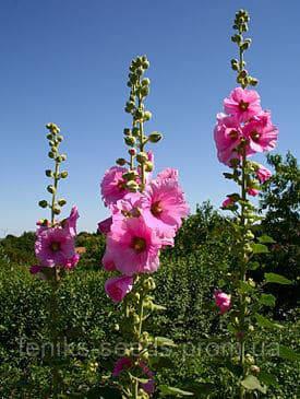 Мальва розовая (Штокроза) семена
