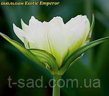 Тюльпан махровый Exotic Emperor«Экзотический император» 10\12