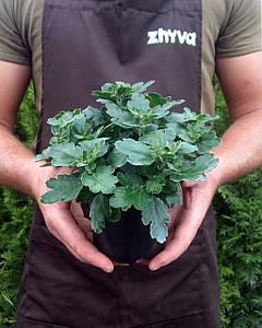 Саджанці Хризантема Multiflora  / Рассада Хризантема Multiflora