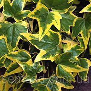"""Плющ садовый вечнозеленый """" Голд Чалд"""" ( саженцы 1 год), фото 2"""
