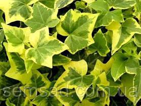 """Плющ садовый вечнозеленый """" Голд Чалд"""" ( саженцы 1 год), фото 3"""