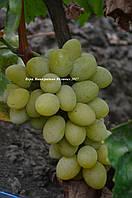 Вера саженцы винограда с мускатом