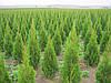 Туя Смарагд (Smaragd) 110-120 см. 300 грн.