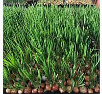 Лук севок  Штутгарт на выгонку зеленого пера оптом фракция  от 3 до 4см в диаметре.