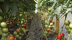 Томаты в теплице. Что нужно для повышения урожайности зимой