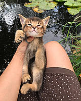 Мальчик Funt 14.07.18. Котёнок Чаузи Ф2 питомника Royal Cats, фото 1