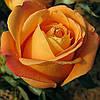 Роза чайно-гибридная Вуду