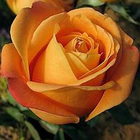 Роза чайно-гибридная Вуду, фото 1