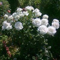 """Роза чайно-гибридная """"Карен Бликсен"""", фото 1"""