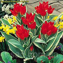 Тюльпан многоцветковый Praestans Unicum 11/12