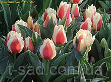 Тюльпан многоцветковый Sylvia Warder (Сильвия Вардер)12/+