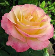 Розы в контейнере ассортимент